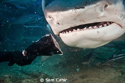 This beauty is a 14-16 foot Tiger shark being hand fed in... by Sam Cahir