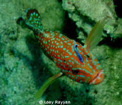 Grouper with a Friend by Loay Rayyan