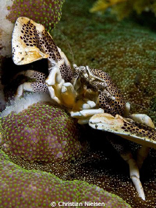 Home sweet home. Porcelain Crab in his host Anemone in K... by Christian Nielsen