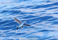 Flying fish at Cocos Island by Michael Gallagher