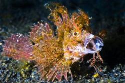Juvenile Ambon Scorpionfish at Hairball 2 by Soren Egeberg