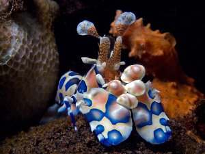 Harlequin Shrimp, Seraya by Doug Anderson