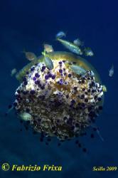 "A small universe of life, a jellyfish ""Cassiopeia"" surrou... by Fabrizio Frixa"
