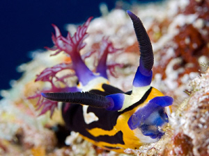 """""""Bighorn Nembrotha"""" This Nembrotha is endemic in the Red... by Henry Jager"""