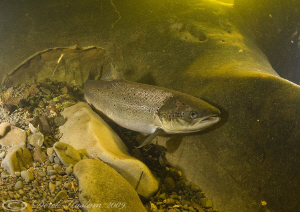 Wild Salmon. River Lune. D3, 16mm. by Derek Haslam