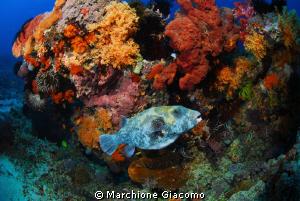 Pufferfishe Lombok 2009 Nikon D200;12_24 mm, twin strobo by Marchione Giacomo