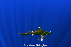 Oceanic whitetip in sunbeams by Michael Gallagher