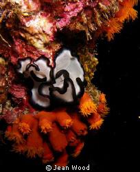 Pseudobiceros gratus  night dive off Hoga Island, Wakatobi by Jean Wood