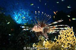 Lion fish. by Miguel Cortes