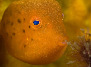 Juvenile Eastern Smooth Boxfish, Bare Island by Doug Anderson