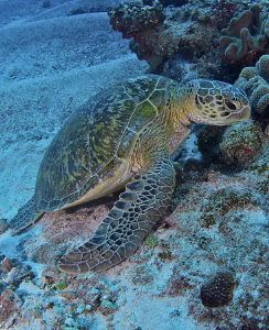Turtle chilling out on the reef. by Charles Wright