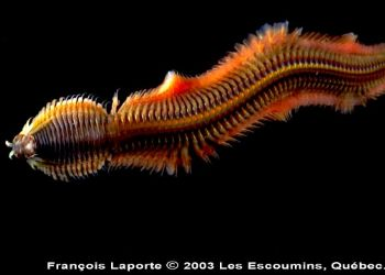 Difficult shot because that sea worm didn't want to be im... by Francois Laporte
