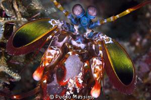 mantis shrimp with eggs,nikon d2x 60mm micro by Puddu Massimo
