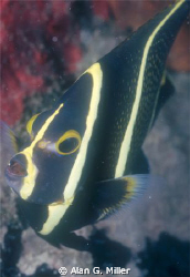 Juvenile angelfish, shot with a Nikonos RS and 50 mm Macr... by Alan G. Miller