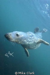 Grey Seal, natural light by Mike Clark