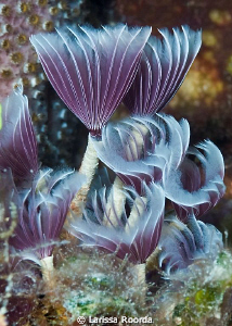 Underwater Tulips.  (Feather Dusters). by Larissa Roorda