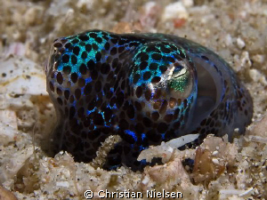 Nice encounter with Bobtail Squid digging itself into the... by Christian Nielsen