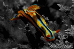 Luminous Nudibranch by Barbara Schilling