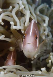 Pink anemonefish by Girts Kravalis