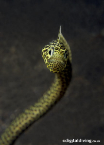 Taylors Garden Eel on La Rascasse House Reef by David Henshaw