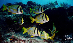 This image of Porkfish was taken during a recent dive at ... by Steven Anderson