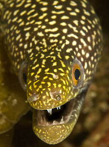 Small moray eel peeping by Charles Wright
