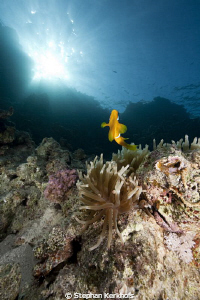 Anemone and anemonefish taken in Shark's Bay. by Stephan Kerkhofs