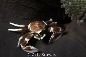 Porcelain crab by Girts Kravalis
