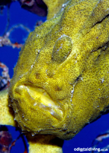 Painted Frogfish In Mabul by David Henshaw