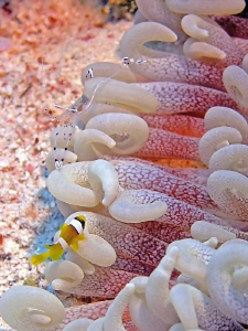Baby Amphiprion face to face with shrimp....Shooted in Wa... by Sylvain Kuster