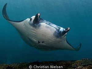 Manta Ray