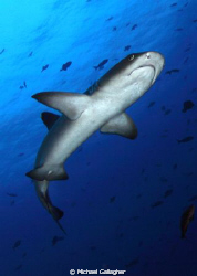 Whitetip reef shark at Cocos Island by Michael Gallagher
