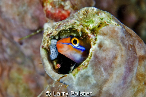 """Mr. Blenny""   D300-60mm with Subsee adapter by Larry Polster"