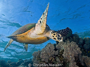 Hawksbill Turtle in the shallows on Daedalus Reef.