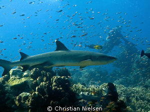 Whitetip Reef Shark and Diver on Castle Rock, Komodo. Fa... by Christian Nielsen