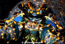 Lobster portrait, night dive, Cocos Island by Michael Gallagher