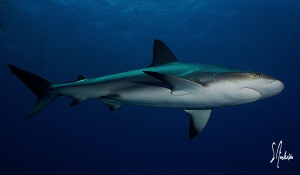 This image of a Caribbean Reef Shark was taken during a s... by Steven Anderson