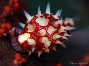 "Tiny 11mm Pseudosimnia sinensis, according to Debelius ""O... by Brian Mayes"