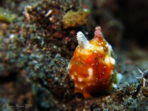Tiny 5mm juvenile Bandtail Frogfish (Antennatus tuberosus... by Brian Mayes