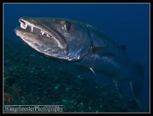 The Great Barracuda of Tulamben, Bali (Sphyraena barracud... by Marco Waagmeester