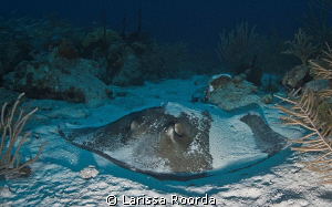 Stingray resting in the sand.  Wasn't disturbed at all by... by Larissa Roorda