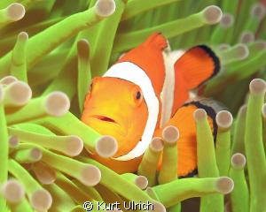 Wakatobi Clown Anenome Fish by Kurt Ulrich