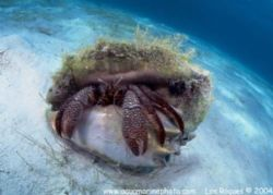 Nice hermit crab that was curious and kept coming at me! ... by François Laporte