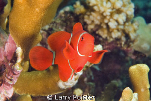 So many species of anemone fish in the Solomon Islands by Larry Polster