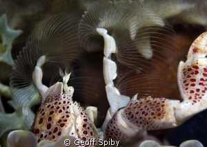 porcelain crab feeding taken with a 80mm macro lens and ... by Geoff Spiby
