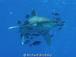 Oceanic white tip, Deadelus reef by Richard Brodsky