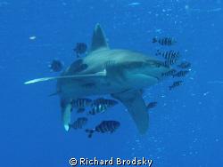 Oceanic white tip, Deadelus reef by Richard Brodsky
