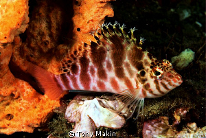 Freckled hawkfisk by Tony Makin