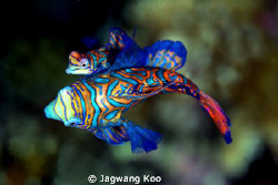 Mating of Mandarin fish