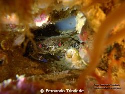 """This is a kind of crab named """"Navalheira"""" in portuguese.... by Fernando Trindade"""